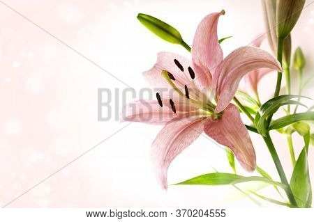 Lily Flower With Pink Petals, Stamen, Pistil And Green Leaves Against A Bright Bokeh Background With