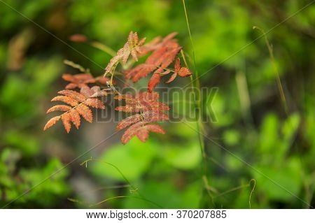 Bright Red Branch Of Rowanberry Or Ashberry Tree In The Fall With A Background Of Green Tree Leaves
