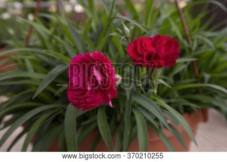 Red Carnations In Dense Greenery In A Flower Pot, Soft Focus