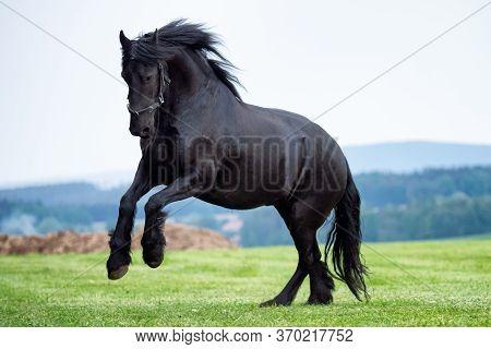 Black Friesian Horse Running In Green Field