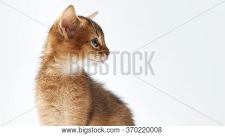 Abessian Thoroughbred Kitten Looks To The Right Side View Copy Free Space.