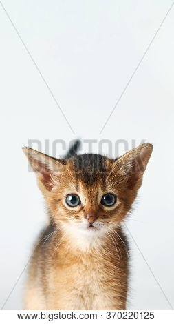 Portrait Of A Little Funny Brown Kitten. Purebred Abessin Kitten Is Looking At The Camera With Copy