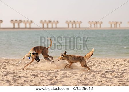 Wild Coyote Plays Or Attacks With The Dog On The Sandy Beach. High Quality Photo