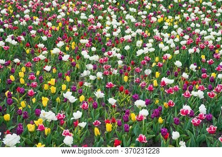 Diversity Concept. Natural Beauty. Springtime Background. Multicolored Flowers. Tulip Fields Colourf