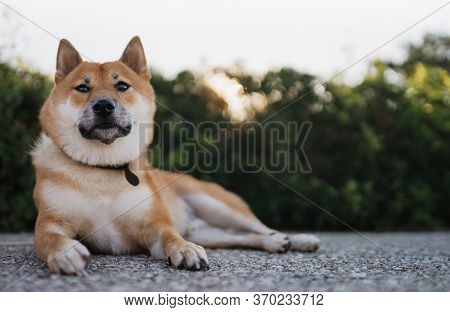 Calm Dog Rest On Green Landscape, Chilling Shiba Inu Leisure On Park, Pet Relaxing On Nature, Animal