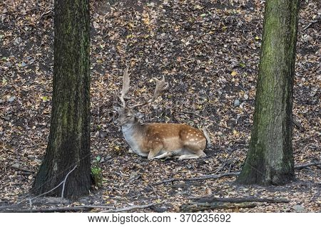 Fallow Deer - Dama Dama Lies On The Ground In The Leaves Among The Trees.