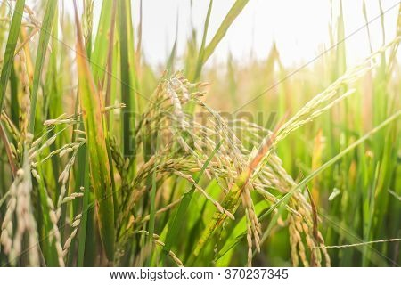 Close Up Of Green Paddy Rice. Green Ear Of Rice In Paddy Rice Field Under Sunrise In The Morning Bac