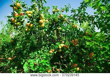 Apples Grows On A Branch Among The Green Foliage