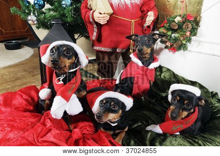dogs, miniture pinchers celebrating christmas