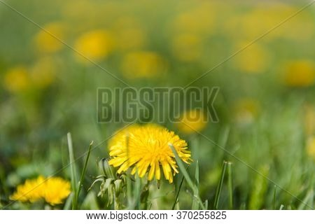 Dandelions Are Growing. Beautiful Yellow Flowers. Dandelions Grow In The Meadow. A Lot Of Dandelions