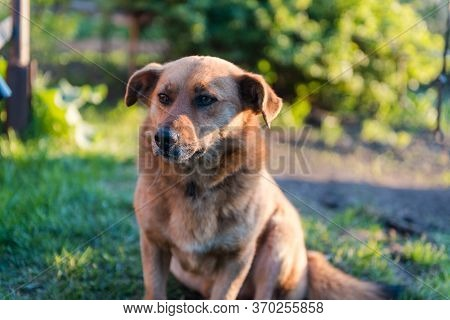 The Dog Is Eating Bread. Ginger Dog Pet. The Dog Eats On The Street