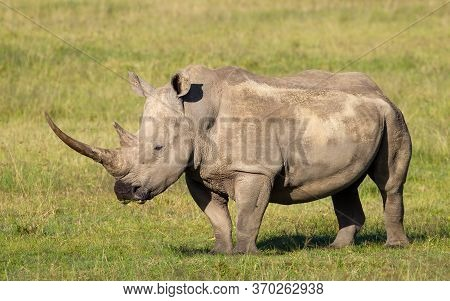 A Massive White Rhino With Long Horn Full Body Side View With Green Grass In Background Near Lake Na