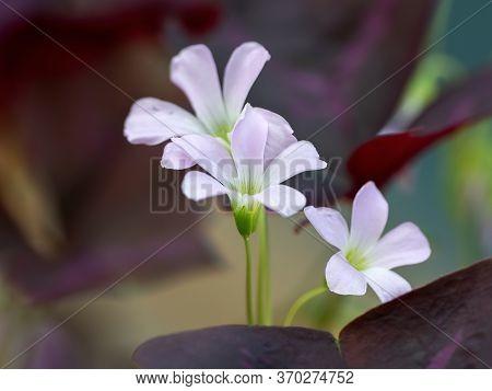 Closeup Purple Shamrock Or False Shamrock Flower Isolated On Background
