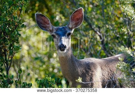Close Up Of A Mule Deer Doe In A Forest Setting, Looking At The Camera.