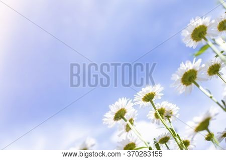 Chamomiles Grow On A Meadow Against The Clear Blue Sky, Bottom View. Summer Wildflowers Daisies, Med