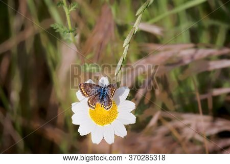 Butterfly With Brown Gray Wings With Reddish Bands, Erebia Palarica, Feeding On Wild Flower In Sprin