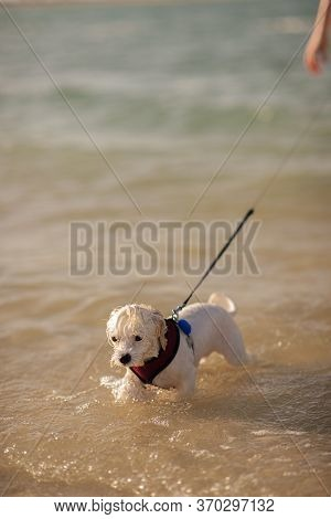 Funny Wet Maltese Bichon Is Wearing Her Red Collar And Is Walking In The Water And Looking In Front.