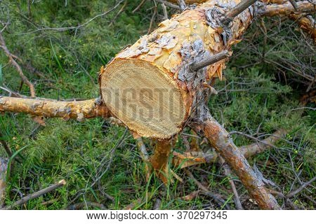 Felled Sawn Tree. Dried Pine Close-up In The Forest. Illegal Deforestation.