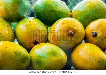 Fresh Harvest Seasonal Organic Alphonso, King Of Mango, Placed In Rain. Sweet Delicious Mango In Mon