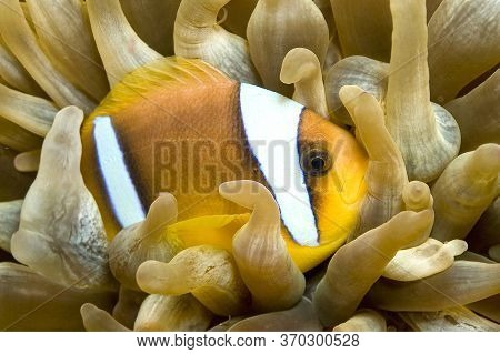 Red Sea Clownfish, Two Banded Anemonefish, Amphiprion Bicintus, Red Sea, Egypt
