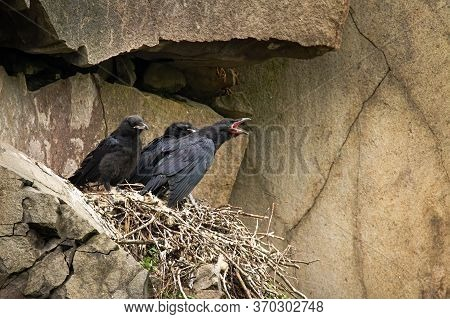 Common Raven Juvenile Chicks Sitting On Nest In Mountainside And Waiting