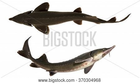 Sturgeon Isolated On A White Background. Two Fresh Fishes