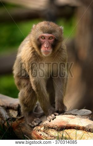 Little Macaque. Popular Monkey In The Park.