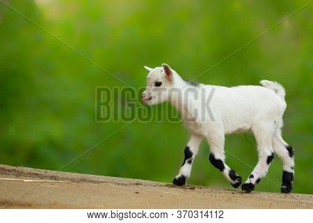 White Baby Goat In Nature. Child Baby Goat. Spring Time. Baby, Pretty, Nice Animal. Young Goat.