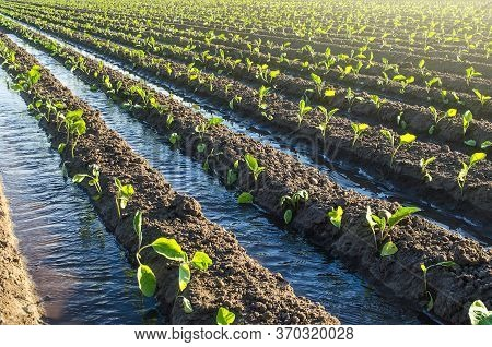 Plantation Of Young Eggplant Seedlings Is Watered Through Irrigation Canals. European Farm, Farming.