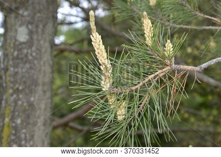 Young Cedar Pine Cones And Needles On The Background Of Cedar Wood