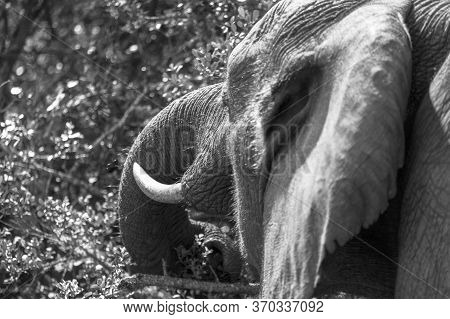 Black And White Image Of A Male Elephant Feeding. Close Up Of Head And Trunk Taken From The Rear Thr