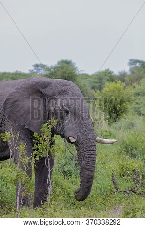 Portrait Format Image Of An Adult Elephant Emerging From Behind The Cover Of Bushes As It Feeds.