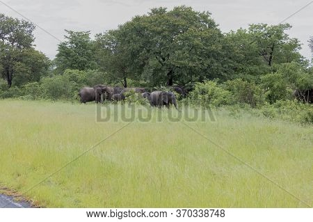 Elephants Feed At The Side Of A Main Road In Botswana. Wide Shot From The Road.