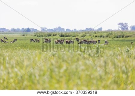 A Herd Of Impala Graze In The Tall Grass At The Edge Of The Chobe River In Botswana.