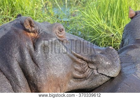 Close Up Of The Side Of An Adult Hippopotamus' Head.