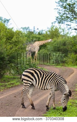 A Zebra Grazing At The Edge Of A Track In Zimbabwe With A Browsing Giraffe In The Background.