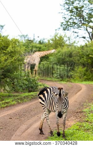 A Zebra Feeds At The Edge Of A Desert Track With A Giraffe In The Background.