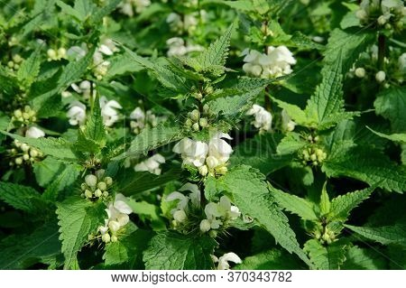 Nettle In Summer Green Meadow. Blooming Nature Background. Medicinal Healthy Herb. Green Leaves In F