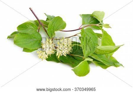 Cornus Sanguinea, The Common Dogwood Or Bloody Dogwood. Flowers Isolated