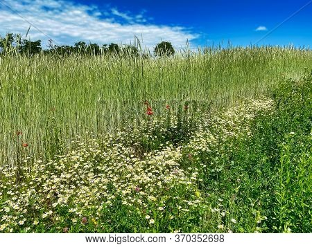 Grain Field In Summer, Meadow With Poppy And Daysy Flowers