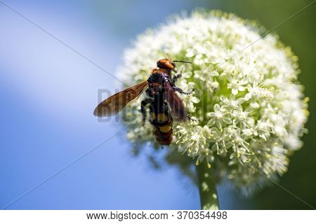 Scola Giant Wasp On A Onion Flower. Scolia Lat. Megascolia Maculata Is A Species Of Large Wasps From
