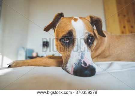 Dog With Cute Sentimental Eyes On A Bed. Staying Alone At Home, Dog Depression, Dog Anxiety From Bei