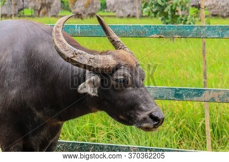 Buffalo In Thailand. Buffaloes In Field Eating The Grass