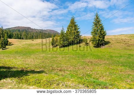 Spruce Trees On The Meadow In Mountains. Beautiful Sunny Landscape With Distant In Highlands. Amazin