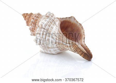 Conch Shell Isolated On White With Reflection