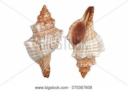 Two Conch Shells On White Background With Clipping Path