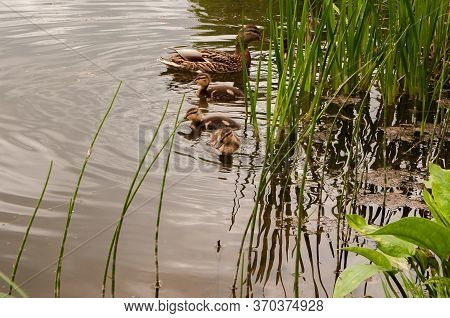 Mother Duck With Ducklings, In The Spring In The Pond. A Duck And Five Ducklings. Ducks Swim In Sear