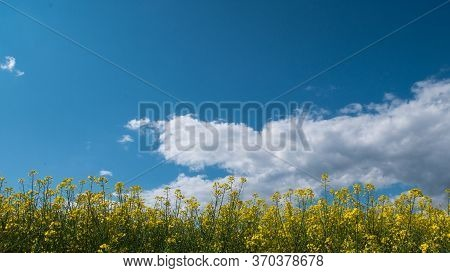 Vast Field With Yellow Flowers And A Cloudy Sky