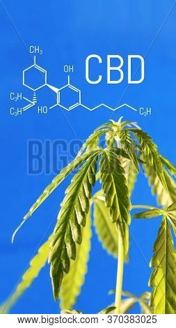 Vertical Image With The Formula Cbd On A Blue Background With A Green Bush Of Hemp. Cannabis Growing