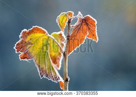 Colorful Autumn Currant Leaves Covered With White Frost On A Dark Blurred Background